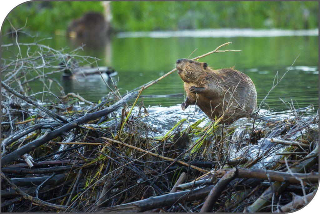 Beaver on dam